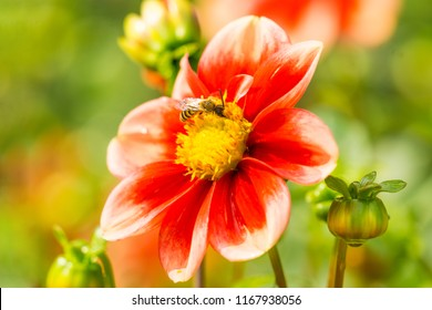 Close-up  of a Bee on a beautiful Red and White Colored Dahlia Flower.