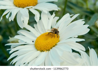 Close-up bee on a flower of a camomile in a garden