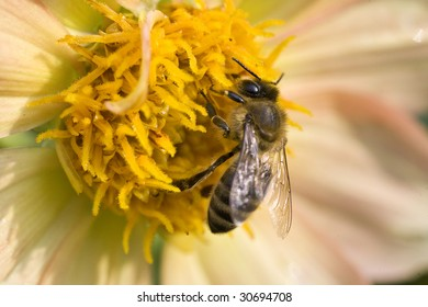 close-up bee on flower collects nectar