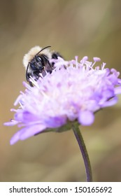 Closeup of a bee on a violet flower blossom