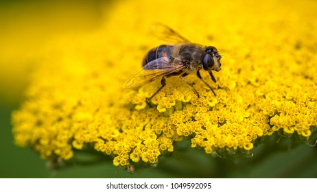 Closeup from a bee on a yellow flower