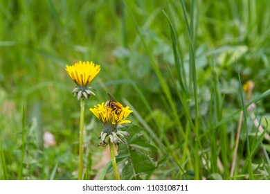 Closeup of a bee sitting on a dandelion