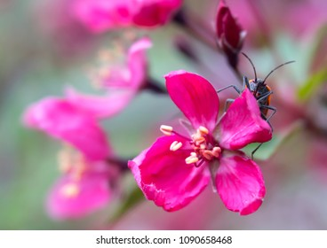 Close-up of beetle of vibrant pink ornamental crab apple tree flower blossoms with soft focus green tones in background. Photo shot locally at Denver Botanic Gardens Chatfield Farms, May 2018.