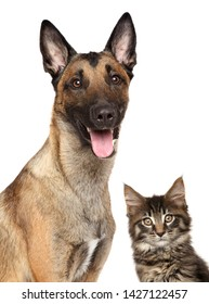 Close-up of Belgian Malinois and Maine-coon kitten on white background. Can and dog theme.