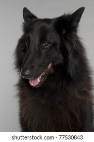 Close-up of Belgian Shepherd Dog, Groenendael, 3 years old, in front of grey background