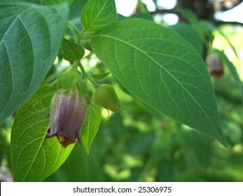 Closeup of a belladonna blossom