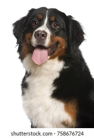 Close-up of Bernese Mountain Dog, 12 months old, panting in front of white background