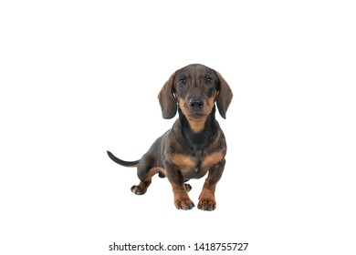 Closeup of a bi-colored black and tan wire-haired Dachshund dog  full body looking at the camera isolated on white background