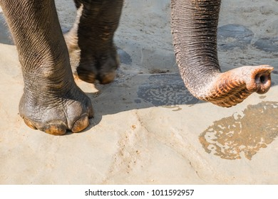 Close-up big Asian elephant foot and trunk. Amazing animals in wild nature of Sri Lanka
