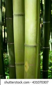 closeup of big bamboo