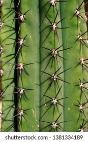 Close-up of big cactus exotic plant with sharp spine. Macro Photography of lively Nature.