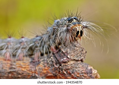 Closeup of a big caterpillar on a twig with blurry background