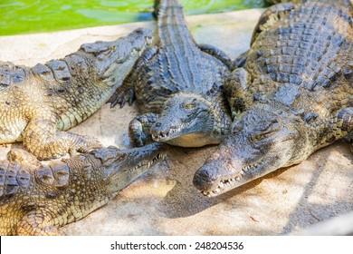 Closeup big crocodiles resting in a crocodiles farm