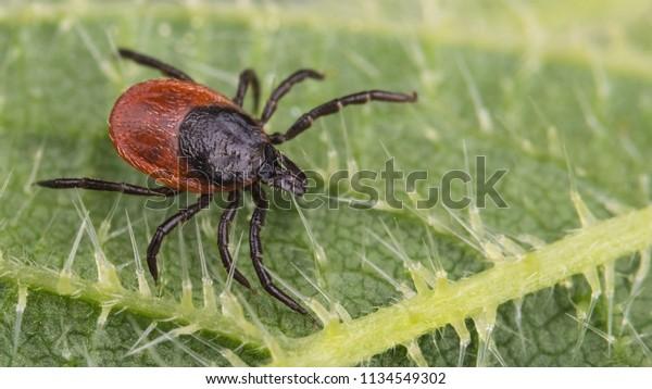 Nahaufnahme eines großen Hirschkrebses auf einem Nelkenblatt. Ixodes ricinus. Urtica dioica. Gefährlicher infektiöser Parasit auf grüner Stechanlage mit defensiven Haaren. Träger von Enzephalitis und Borreliose-Infektionen.