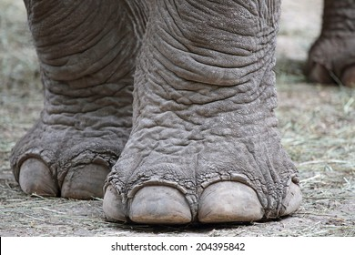 Closeup of the big feet of an asiatic elephant