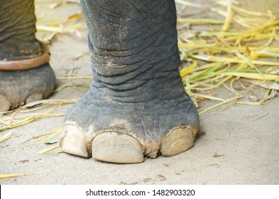 Closeup of the big feet, legs of an asiatic elephant Thailand