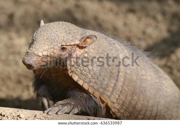 Armadillo pelado grande o grande armadillo pelado (Chaetophractus villosus)