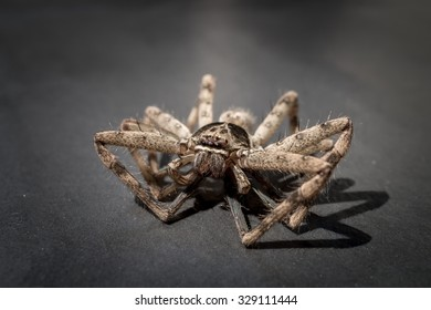 Closeup of a big huntsman spider on grey background with a shadow of its legs