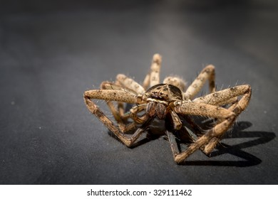 Closeup of a big huntsman spider on grey background with a shadow of its legs. Space for text on the left