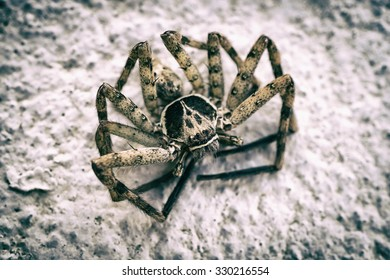 Closeup of a big huntsman spider sitting on a rock with its legs forming a circle