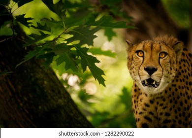 Close-up of a Big Leopard Wild Cat on a Tree. view of a leopard with open mouth looking into the camera