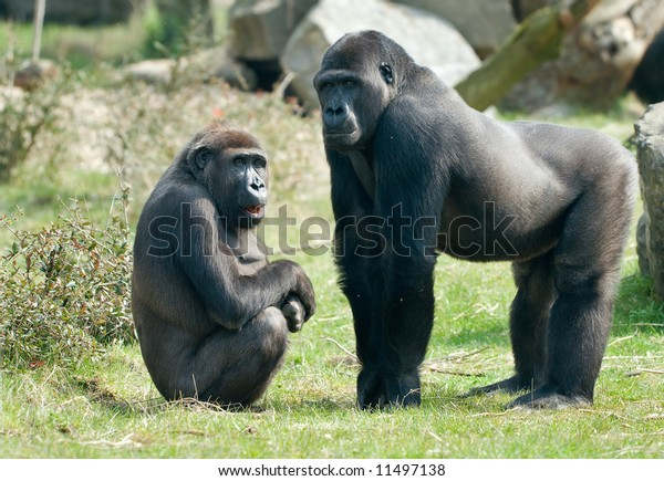 close-up of a big male and female gorilla