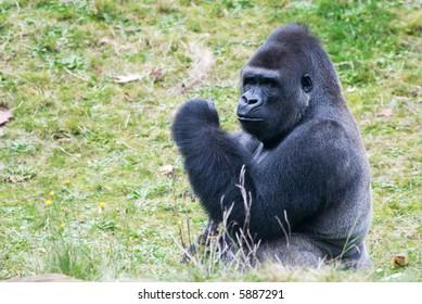 close-up of a big male gorilla