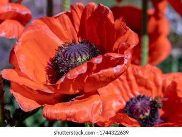 Close-up of big orange poppies with soft focus pollinating honey bee on poppy flower in background.