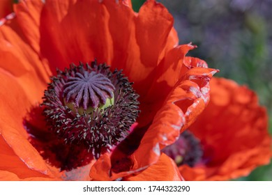 Close-up of big orange poppy flower bloom with soft focus flower and abstract purple garden flowers in background.