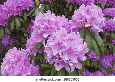 Closeup of big showy pink blooms of Rhododendron flowers