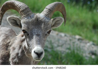 Close-up of a bighorn sheep. Type-space on left.
