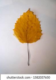 Closeup of a Bigtooth Aspen (Populus grandidentata) leaf on a white background.