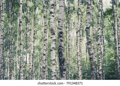Closeup of Birch forest wood in the summer