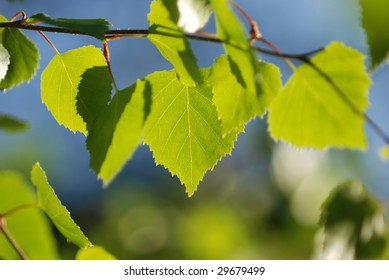 Closeup of Birch leaves against blue sky