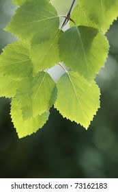 Closeup of a birch tree