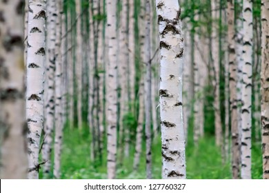 Close-up of a birch wood in summer in Finland