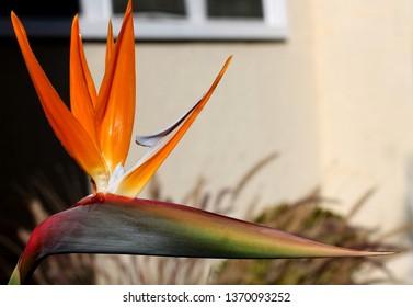 Close-up of Bird of Paradise tropical garden flower