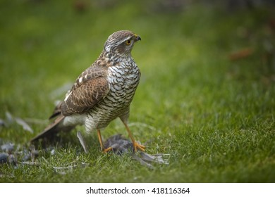 Close-up bird of prey Eurasian sparrowhawk, Accipiter nisus, sitting on green grass, feeding on successful catch, house sparrow in claws. A few feathers around, blurred background. Autumn, Europe.