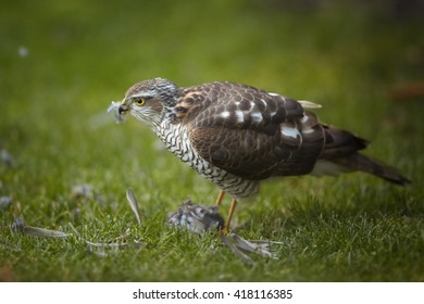 Close-up bird of prey Eurasian sparrowhawk, Accipiter nisus, sitting on green grass, feeding on successful catch, house sparrow in claws. A few feathers around, blurred background. Winter, Europe.