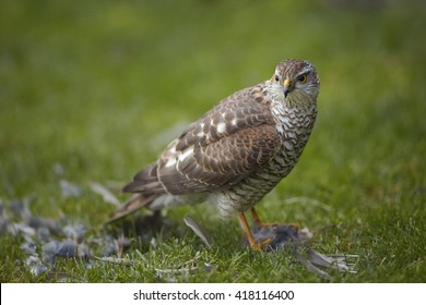 Close-up bird of prey Eurasian sparrowhawk, Accipiter nisus, sitting on green grass with successful catch, house sparrow in claws. A few feathers around, blurred background. Czech republic, Europe.