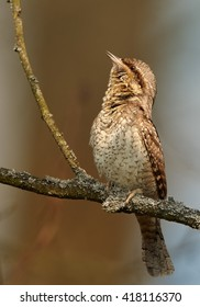 Close-up bird, superb camouflaged against the environment,Eurasian wryneck, Jynx torquilla perched on branch in early spring against colorful background. Vertical wildlife photo,Czech republic,Europe.
