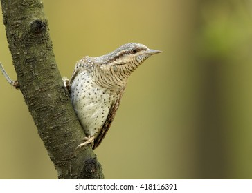 Close-up, bird superb camouflaged against the environment,Eurasian wryneck, Jynx torquilla perched on diagonal branch in early spring against colorful background. Wildlife photo,Czech republic,Europe.