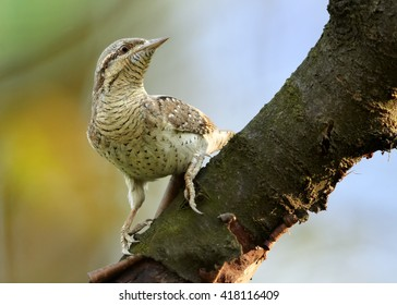 Close-up bird, superb camouflaged against the environment, Eurasian wryneck, Jynx torquilla perched on branch in early spring. Wildlife photo, Czech republic, Europe.