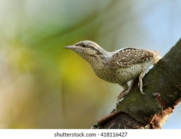 Close-up bird, superb camouflaged against the environment, Eurasian wryneck, Jynx torquilla perched on branch in early spring against colorful background. Wildlife photo, Czech republic, Europe.