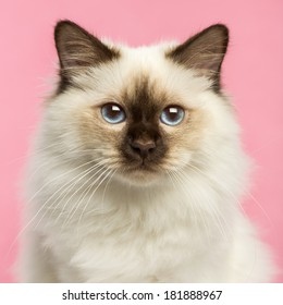 Close-up of a Birman kitten looking at the camera, 5 months old, on a pink background