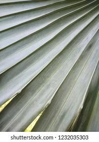 Close-up Bismarck palm leaf surface. Gray stripes background.
