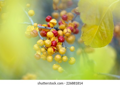 Close-up of Bittersweet berries, abstract autumn background, selective focus, shallow DOF.