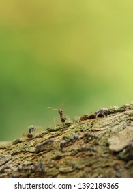 Closeup black ant on wood in the green nature. Macro shot insect. Selective focus