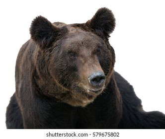 Close-up black bear, isolated on a white background