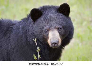 Closeup of a Black Bear's face.